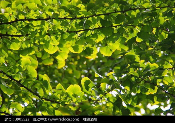 原创摄影图 动物植物 树木枝叶 银杏  请您分享: 红动网提供树木枝叶