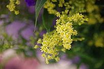 一枝开放的黄莺花