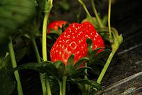 草莓地果实