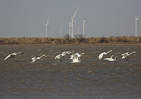 准备降落在黄河故道水面的天鹅