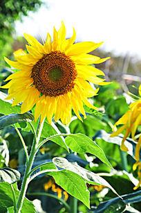 阳光下怒放的向日葵