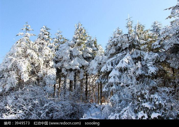被白雪覆盖的松树图片