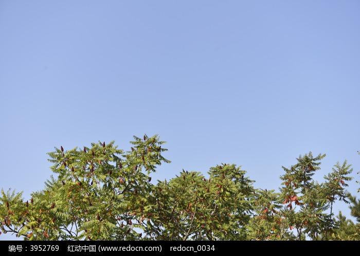原创摄影图 动物植物 树木枝叶 蓝天景观树