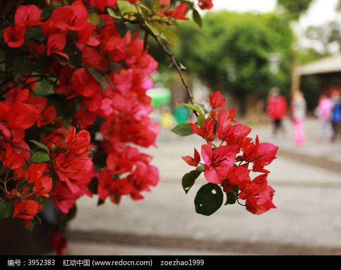 原创摄影图 动物植物 花卉花草 热带红花  请您分享: 红动网提供花卉