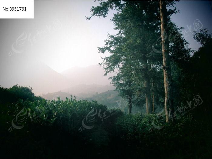 松柏林图片,高清大图_森林树林素材