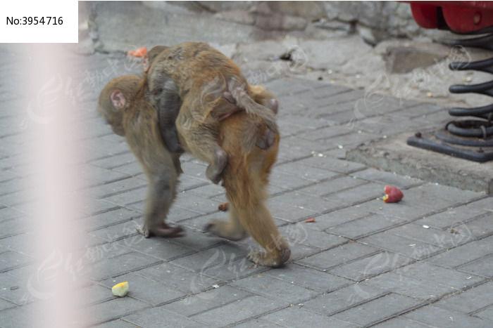 背着小猴子的老猴图片,高清大图_陆地动物素材