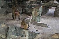 红屁股猴子