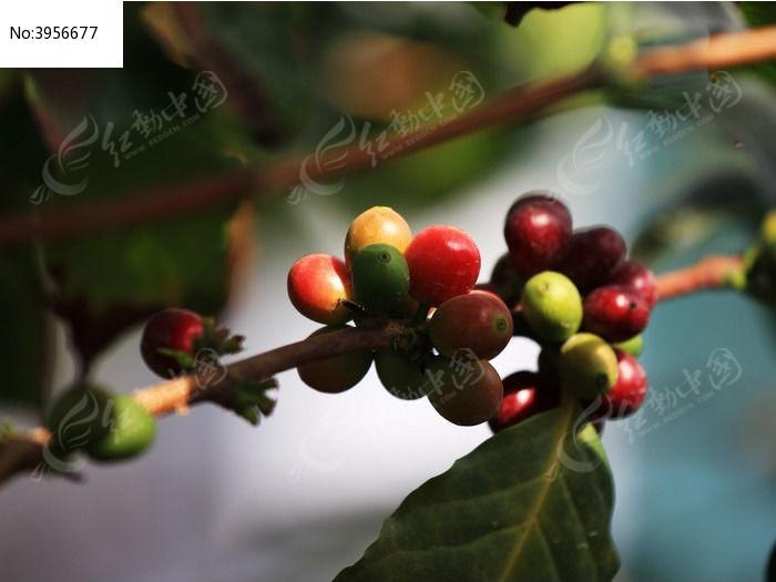 原创摄影图 动物植物 花卉花草 咖啡树果实  请您分享: 红动网提供
