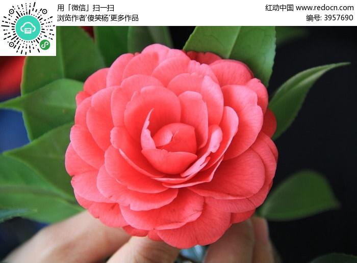 绿叶红花图片,高清大图