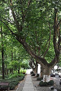 毛家埠大树下的小径