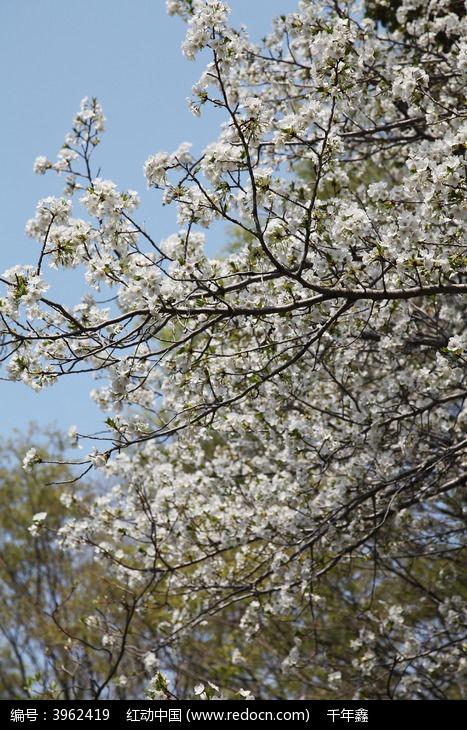 樱花树枝杈图片