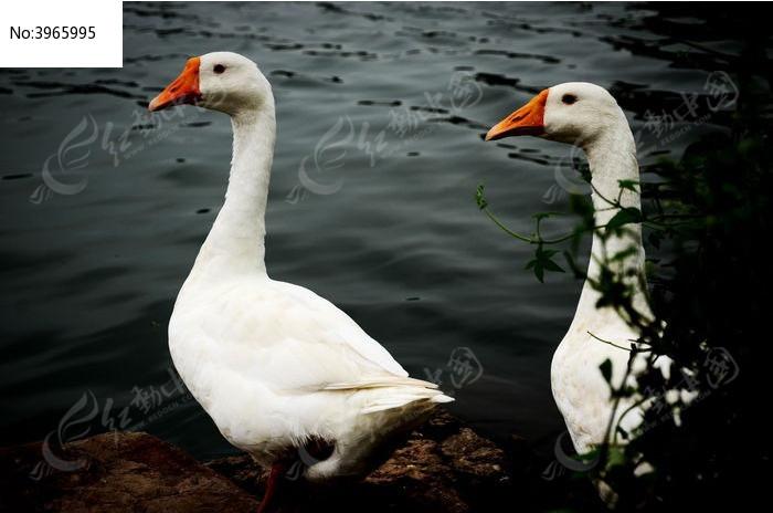 原创摄影图 动物植物 家禽家畜 等待中的鹅