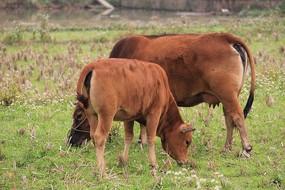 两只在吃草的黄牛