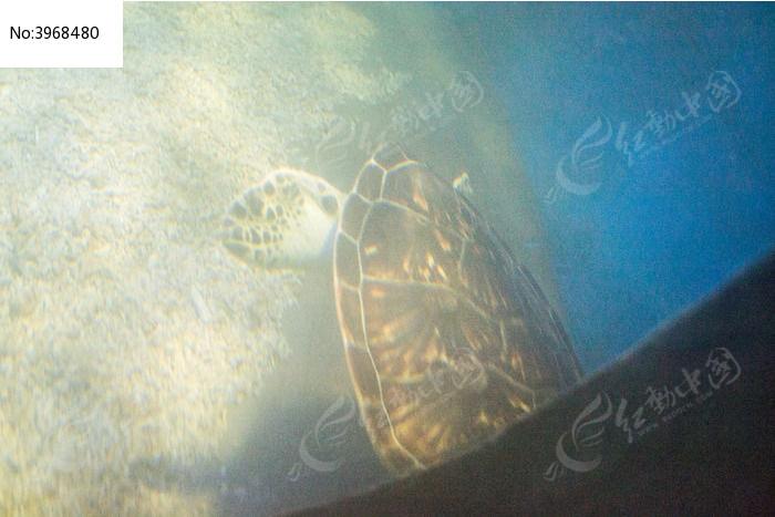 海龟侧面图片,高清大图_水中动物素材