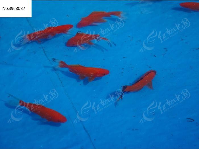 红色的小鱼图片