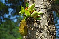 生长在树干的树菠萝