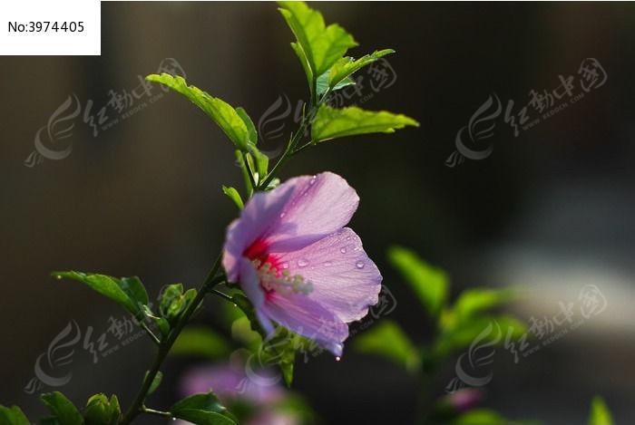带着露珠的木槿花图片,高清大图_花卉花草素材