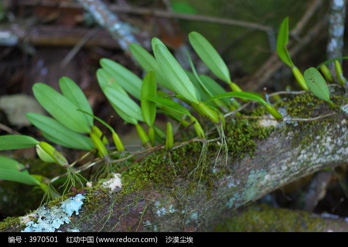 原创摄影图 动物植物 花卉花草 寄生在枯树的石斛