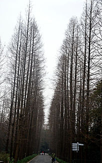 两排光秃秃的水杉树
