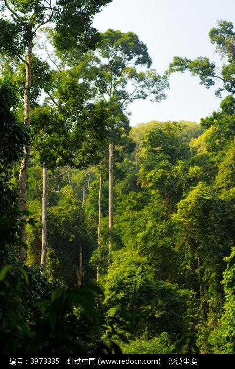 高树三姐妹mp3下载_原始森林争抢阳光的高树高清图片下载_红动网