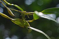原始森林中的石斛