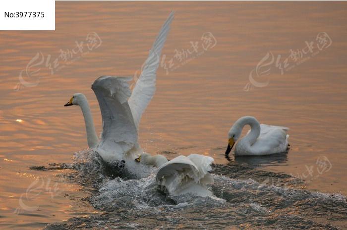 原创摄影图 动物植物 空中动物 日出时刻天鹅追逐撕咬  请您分享: 红