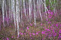杜鹃花森林
