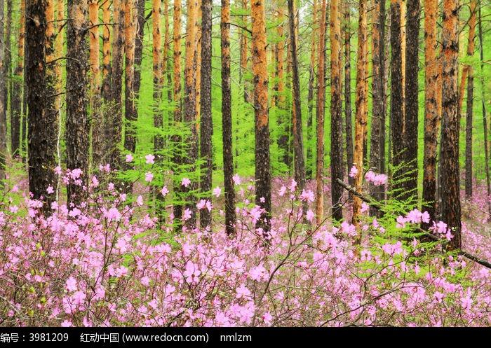 杜鹃花盛开的森林图片