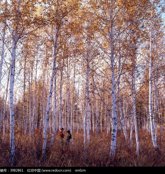 原创摄影图 自然风景 森林树林 秋季白桦树  请您分享: 红动网提供