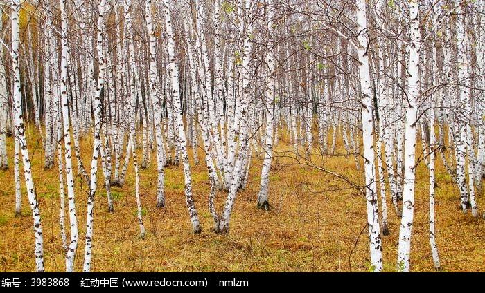 原创摄影图 自然风景 森林树林 晚秋白桦林
