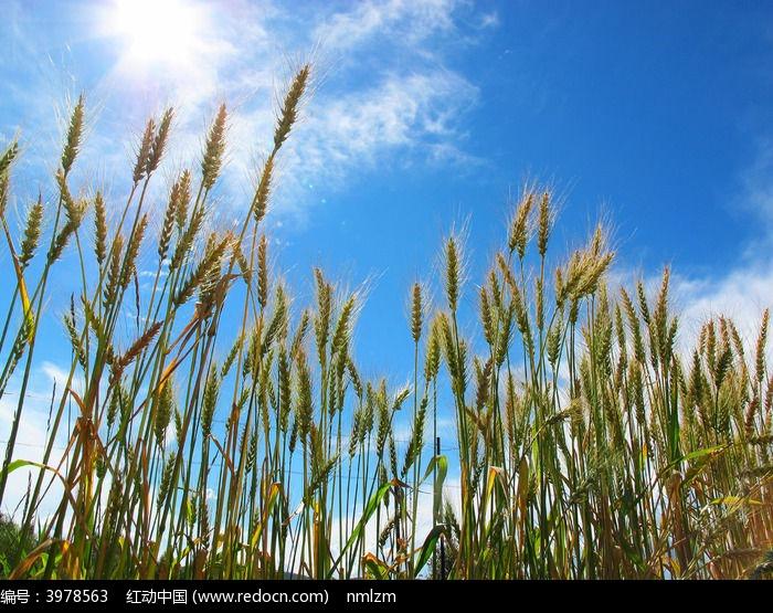 原创摄影图 自然风景 田野田园 阳光下的麦穗