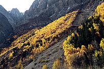 坡壁黄色杉树林