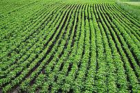 种植马铃薯的农田