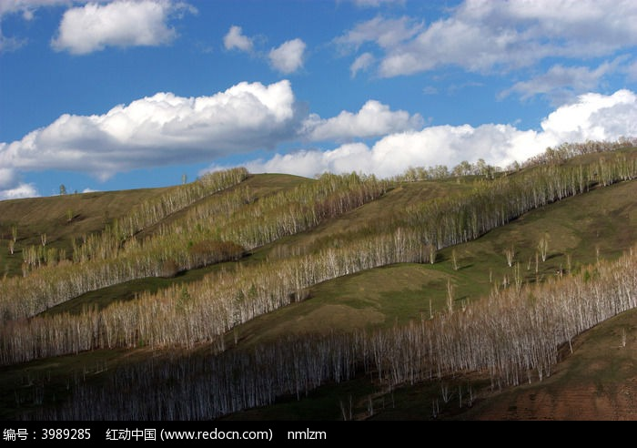 原创摄影图 自然风景 森林树林 额尔古纳白桦林  请您分享: 素材描述图片