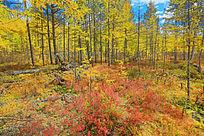 金色的落叶松森林