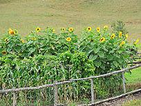 农家种植的向日葵