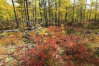 秋林红灌木