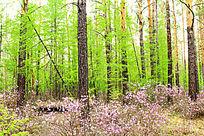 迎春花盛开的大森林
