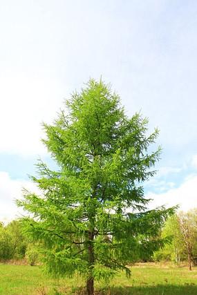 原野一棵松树