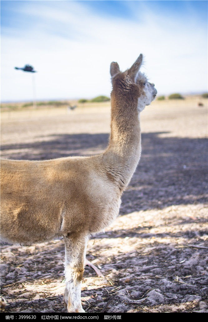 澳洲袋鼠岛上的羊驼图片