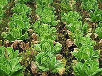 菜园种植的大白菜
