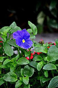 草丛中盛开的蓝色鲜花