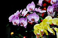 粉色蝴蝶兰与黄色蝴蝶兰