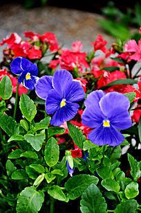 花丛中的蓝色鲜花