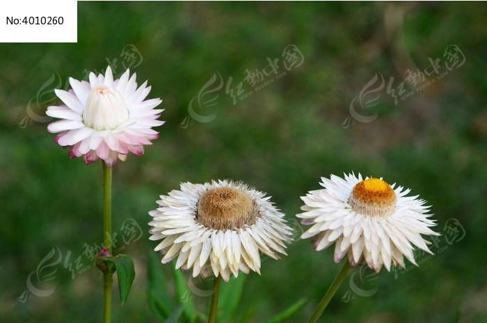 手绘嫩蜡菊设计