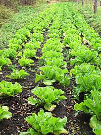 农家菜园种植的白菜