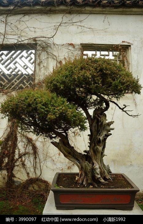 原创摄影图 动物植物 树木枝叶 盆景欣赏