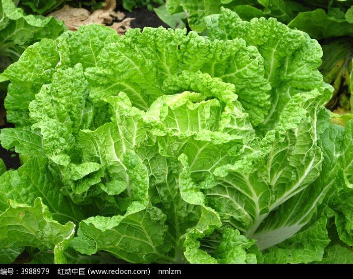 原创摄影图 动物植物 农作物 蔬菜白菜