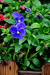 围栏里的蓝色鲜花