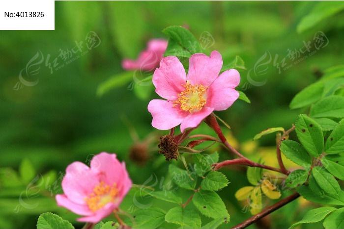 野蔷薇图片,高清大图_花卉花草素材